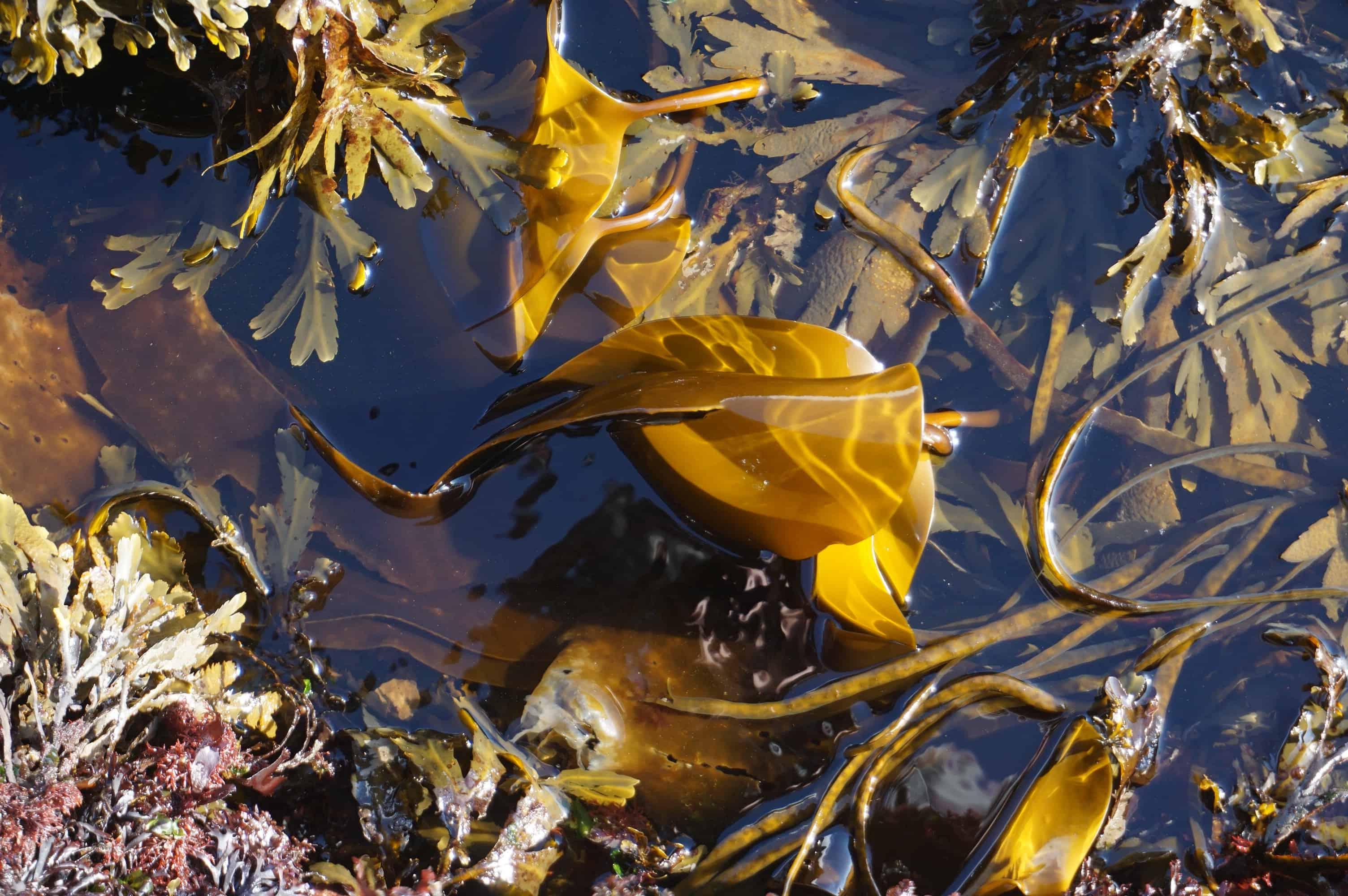 Seaweed at Isle Martin